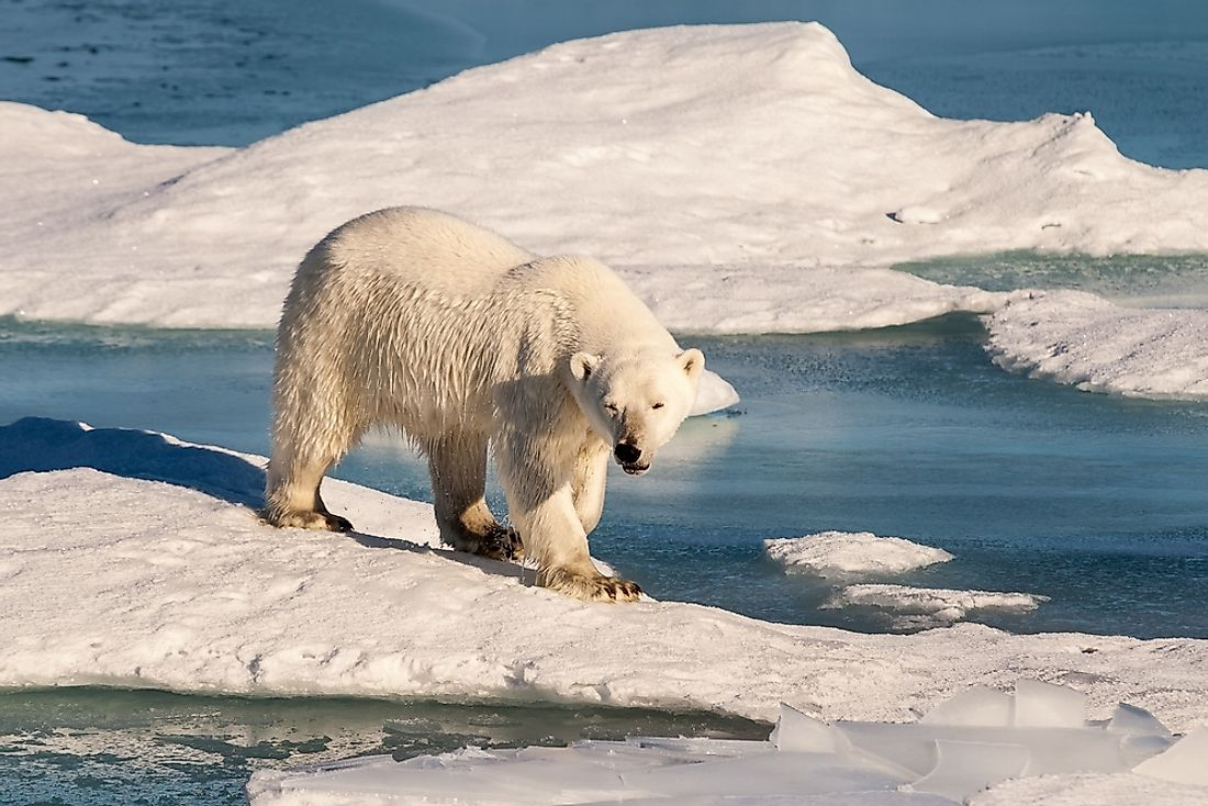 Polar bears use their sharp claws and teeth to hunt for seals.