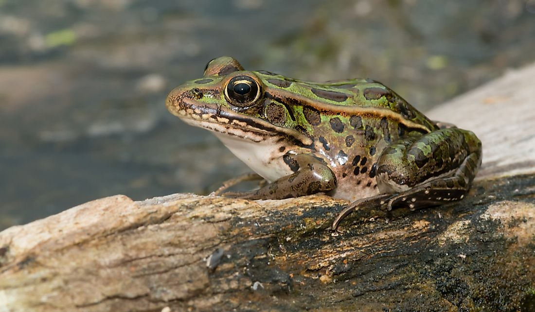 The northern leopard frog's beautiful green color is said to symbolize Vermont's natural beauty.