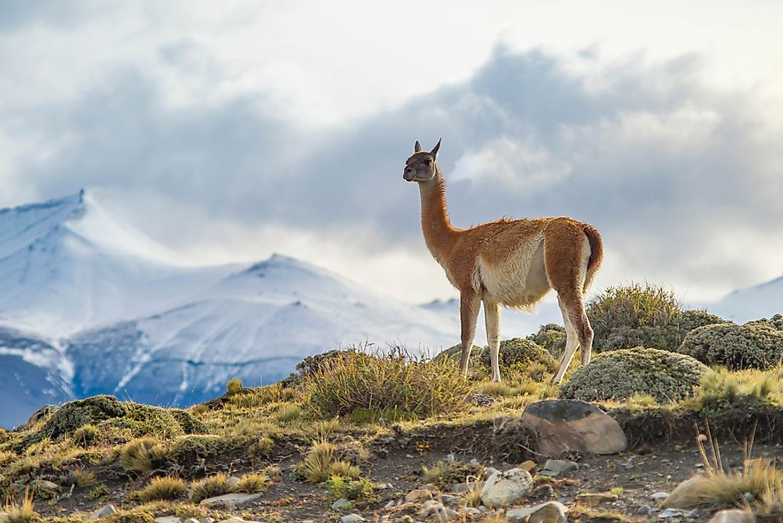 A Guanaco on top of the mountain in Torres del Paine, Chile.