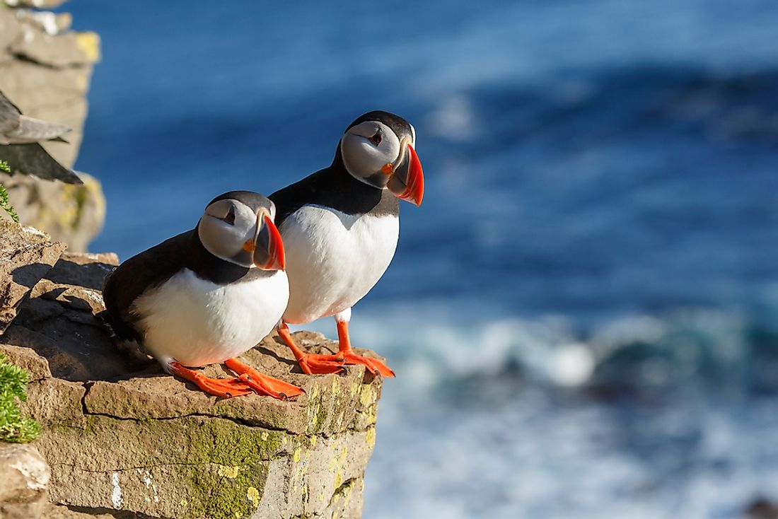 Puffins in Iceland.