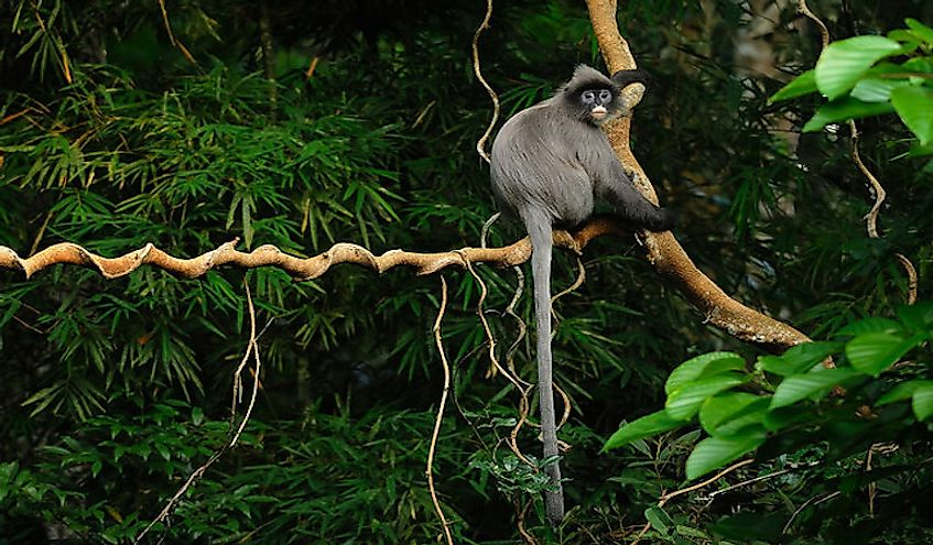 A Phayre's Langur in a wildlife sanctuary in Thailand.