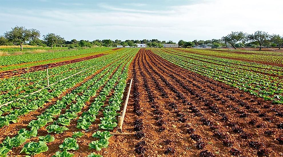 Cultivation of lettuce in a crop-field.