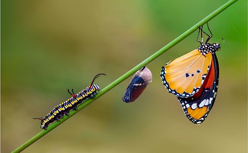 Differing stages of life from caterpillar to cocoon to butterfly.