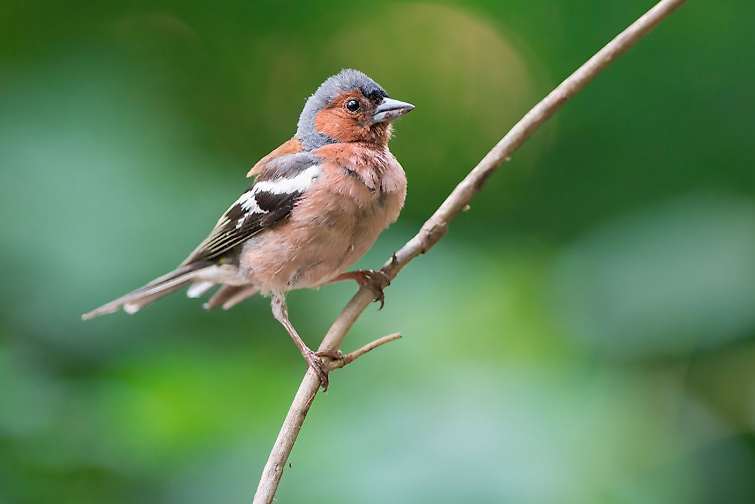 The common chaffinch is a passerine bird.