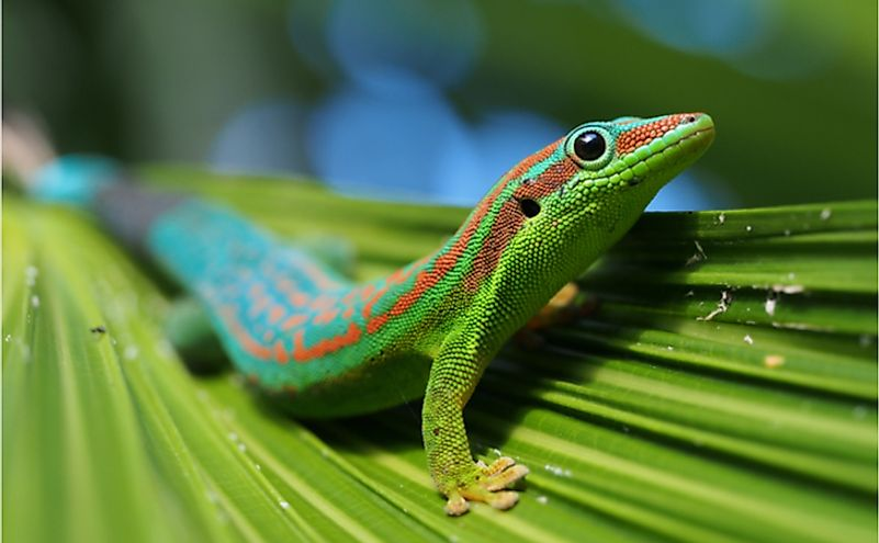 Turquoise and blue ornate day gecko on palm tree leaf.