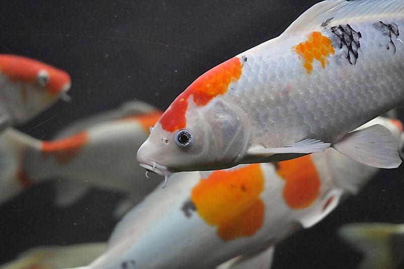 Longest living animals on earth for Koi fish life span