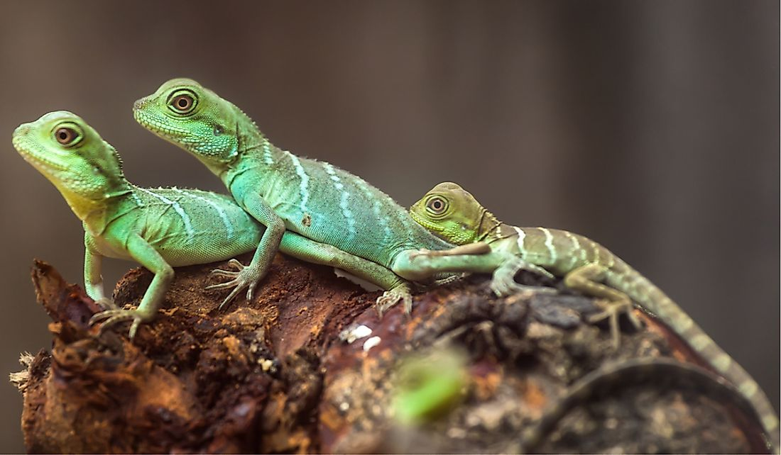 There are approximately 3,750 species of lizards.