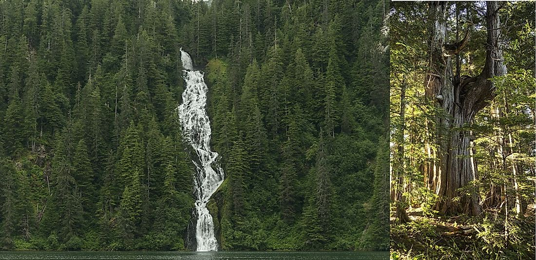 Ancient cedars (right) and virgin stands of forest (left) are interspersed with beautiful waterfalls in Alaska's Tongass.