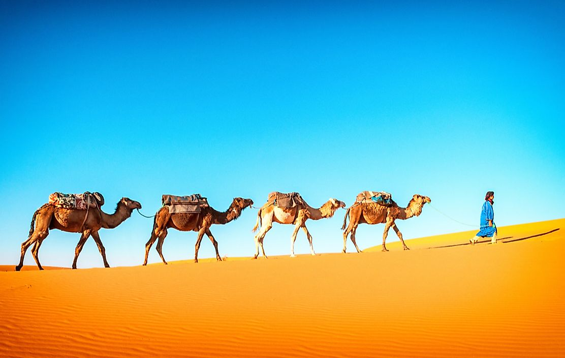 Camels traveling through the Sahara desert in Morocco.