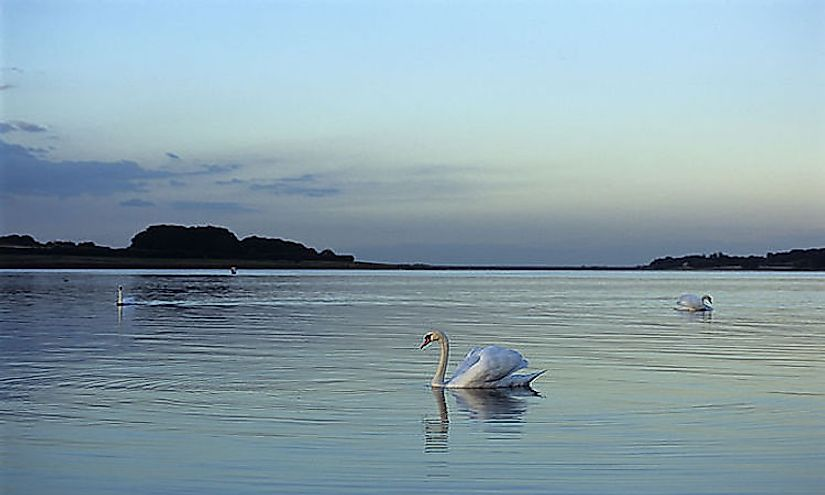 Swans on Rutland Water at dusk.