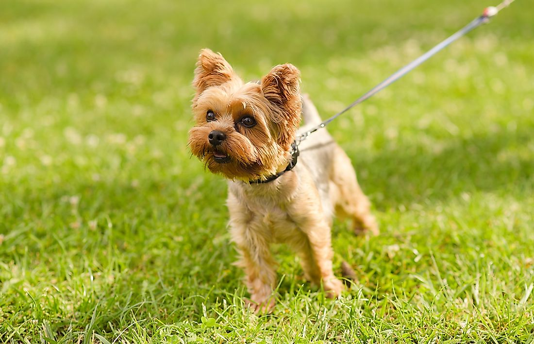 A yorkshire terrier dog.