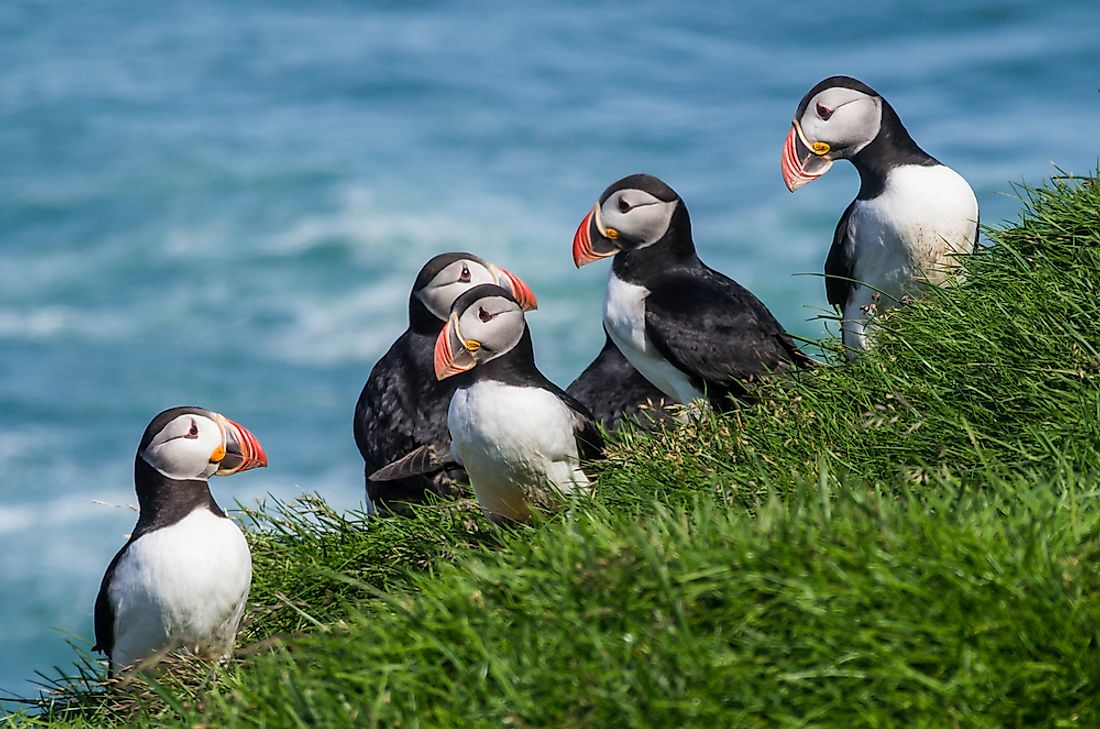 Atlantic puffins in Iceland.