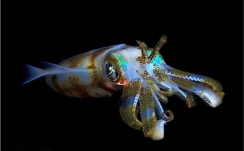 Bigfin reef squid in Bali.