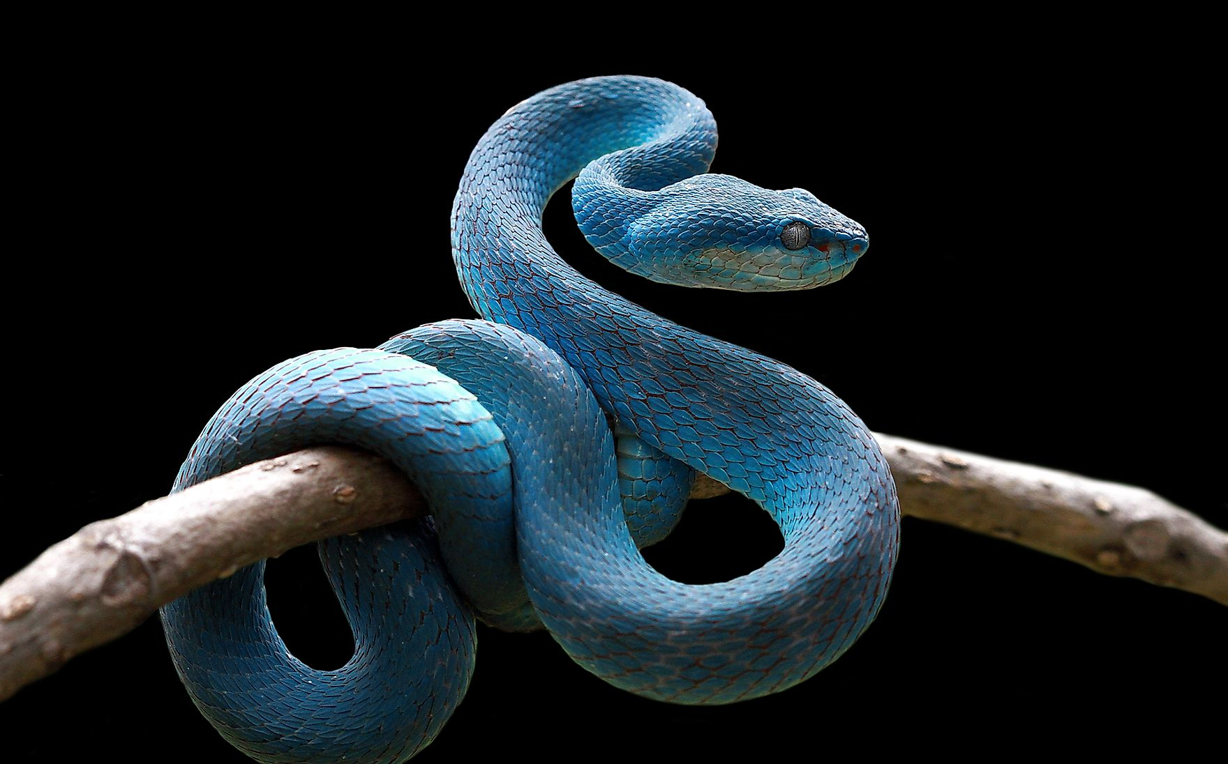 A blue viper on a branch.