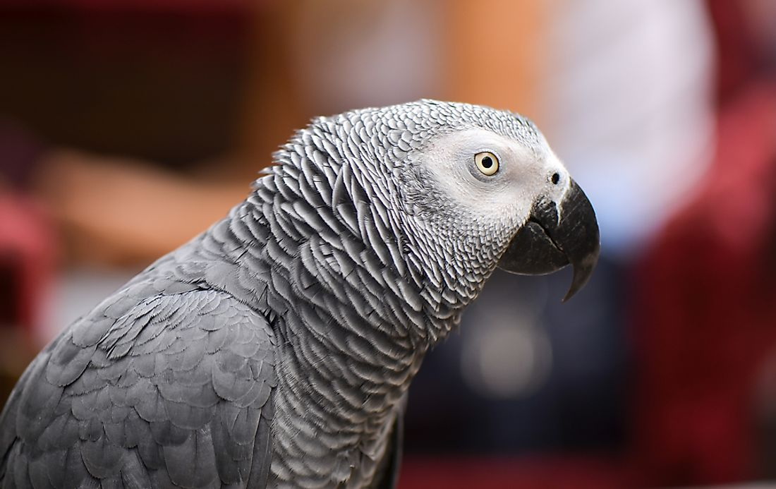 The African grey parrot.
