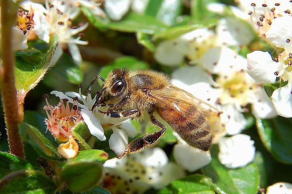 Apis mellifera​ sucking nectar from flowers.