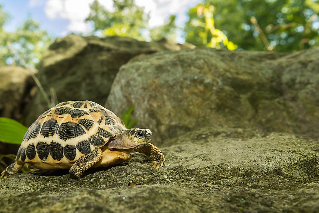 The Spider Tortoise (Pyxis arachnoides) is a critically endangered species endemic to Madagascar.