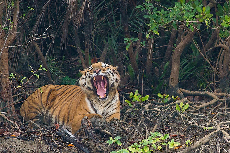 bengal-tiger-yawning-in-sundarban