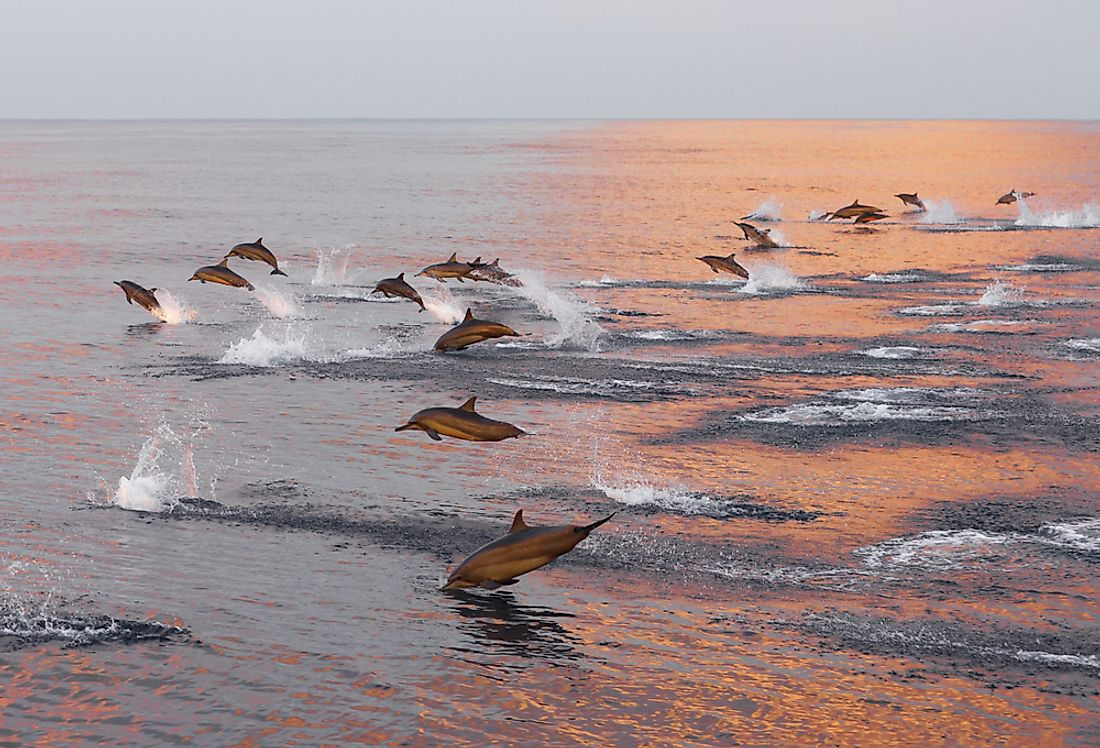 A pod of dolphins swims off the coast of the Maldives.