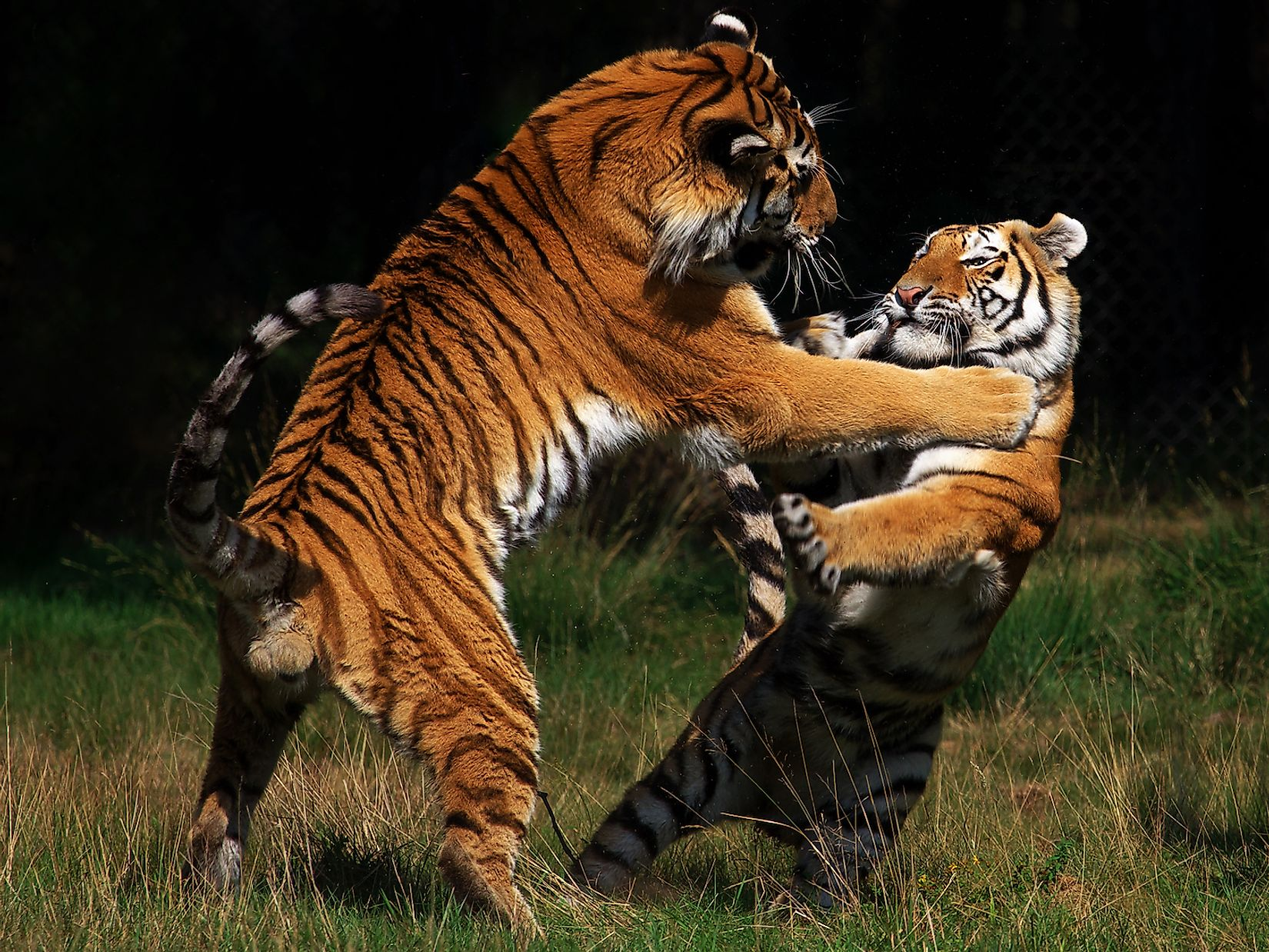 Two tigers fighting each other. Image credit: Nick Biemans/Shutterstock.com