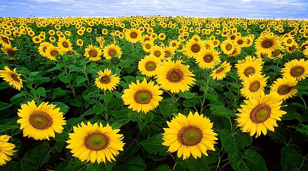 Sunflowers in a crop-field.