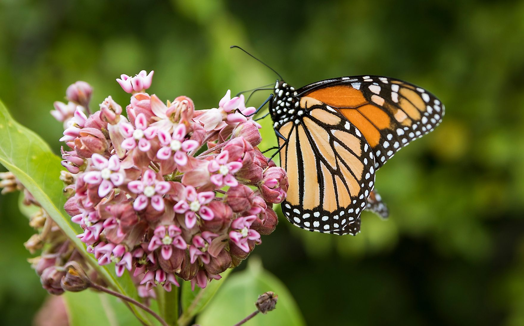 Monarch butterflies and milkweed are an example of commensalism.