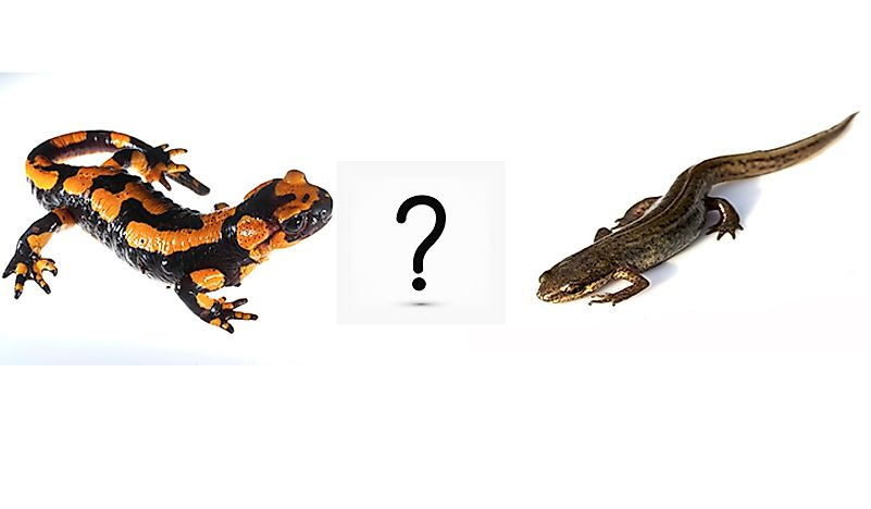 What are the differences between a newt and a salamander?