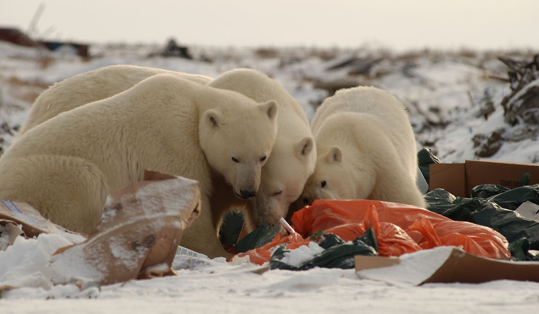 Polar bears feeding on garbage.