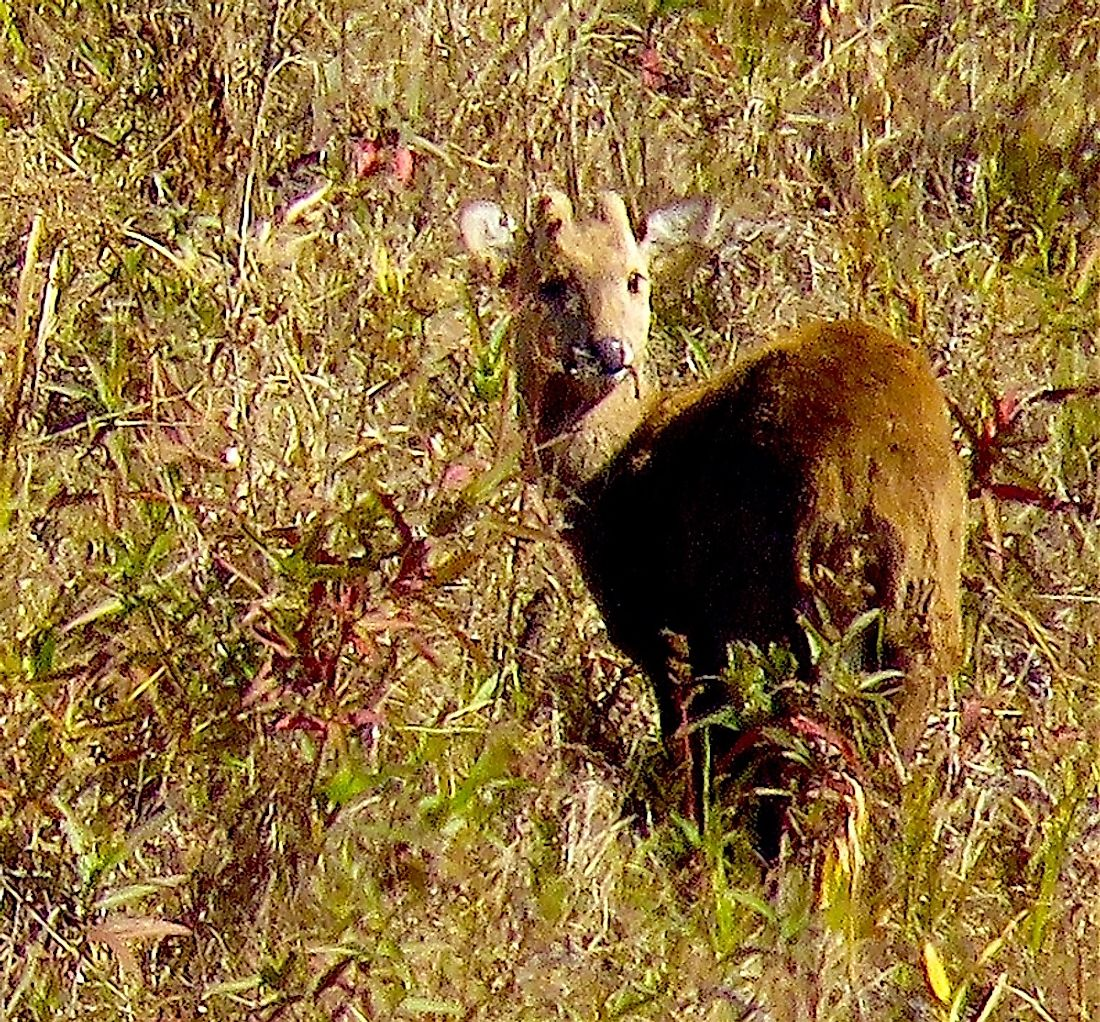 The sangai is a rare type of deer that only lives in the Indian state of Manipur.