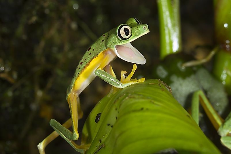 A Lemur Frog in the Costa Rican rainforest.