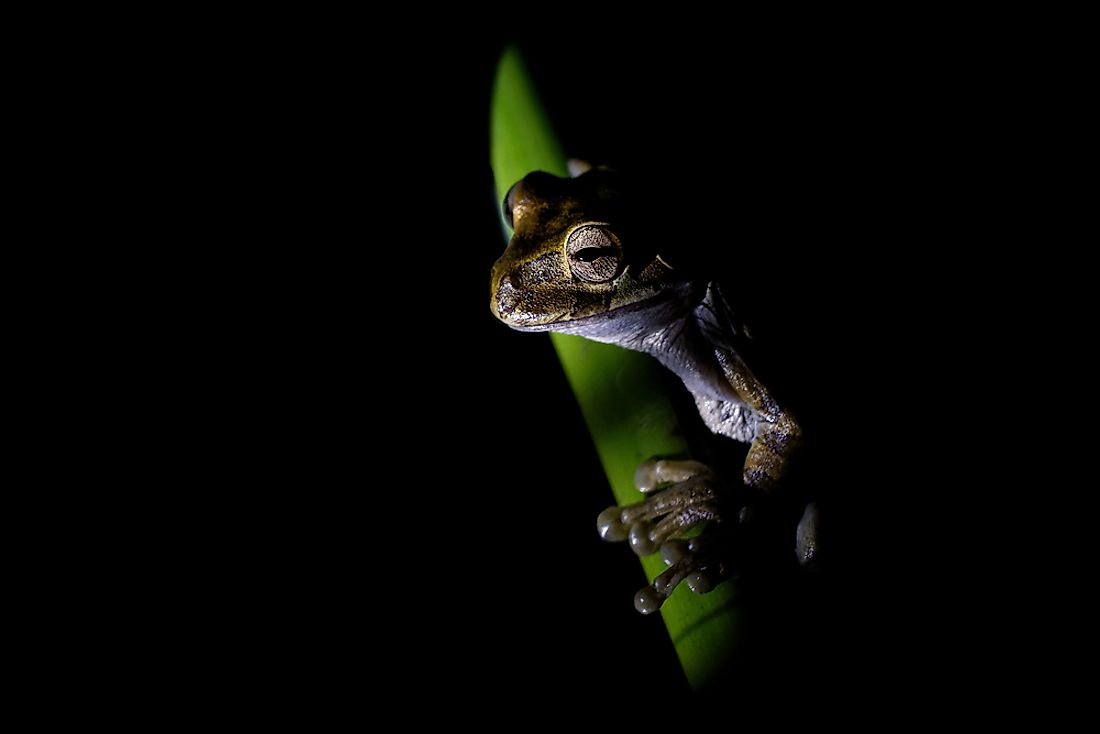 Common Mexican tree frog - Smilisca baudinii nocturnal species of tree frog