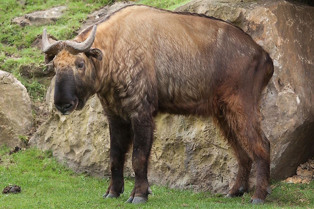 The takin is the national animal of Bhutan.