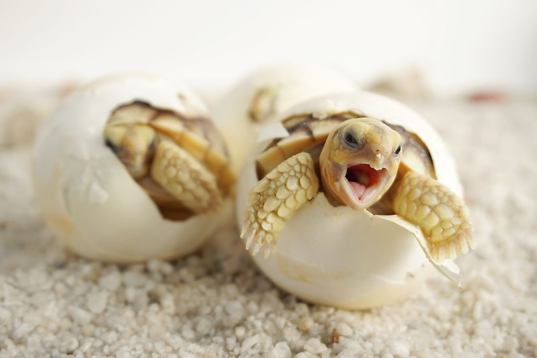 Most reptiles, such as turtles, hatch from eggs. Turtles also have scutes instead of scales.