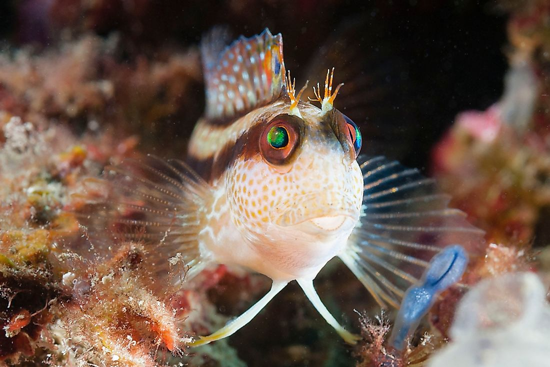 The ringneck blenny, a type of fish found in Algeria.