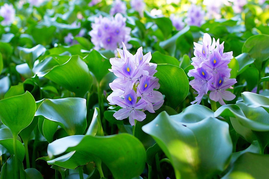 Water hyacinth is a beautiful plant that can be found throughout Africa's Great Lakes.