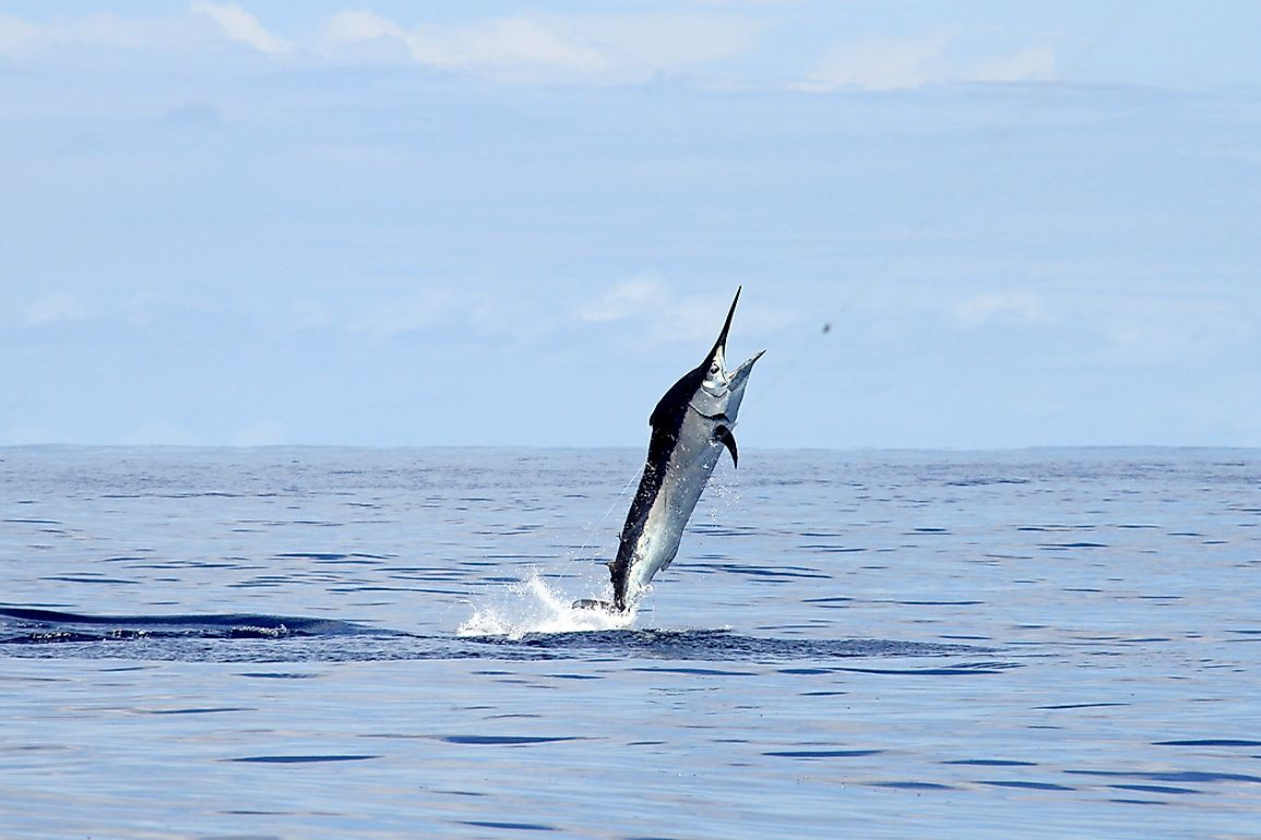 A black marlin is regarded to be the fastest fish in the world.