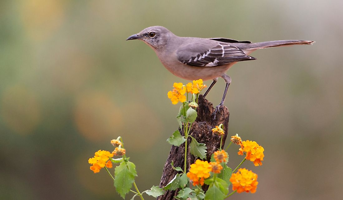 The northern mockingbird prefers open areas.