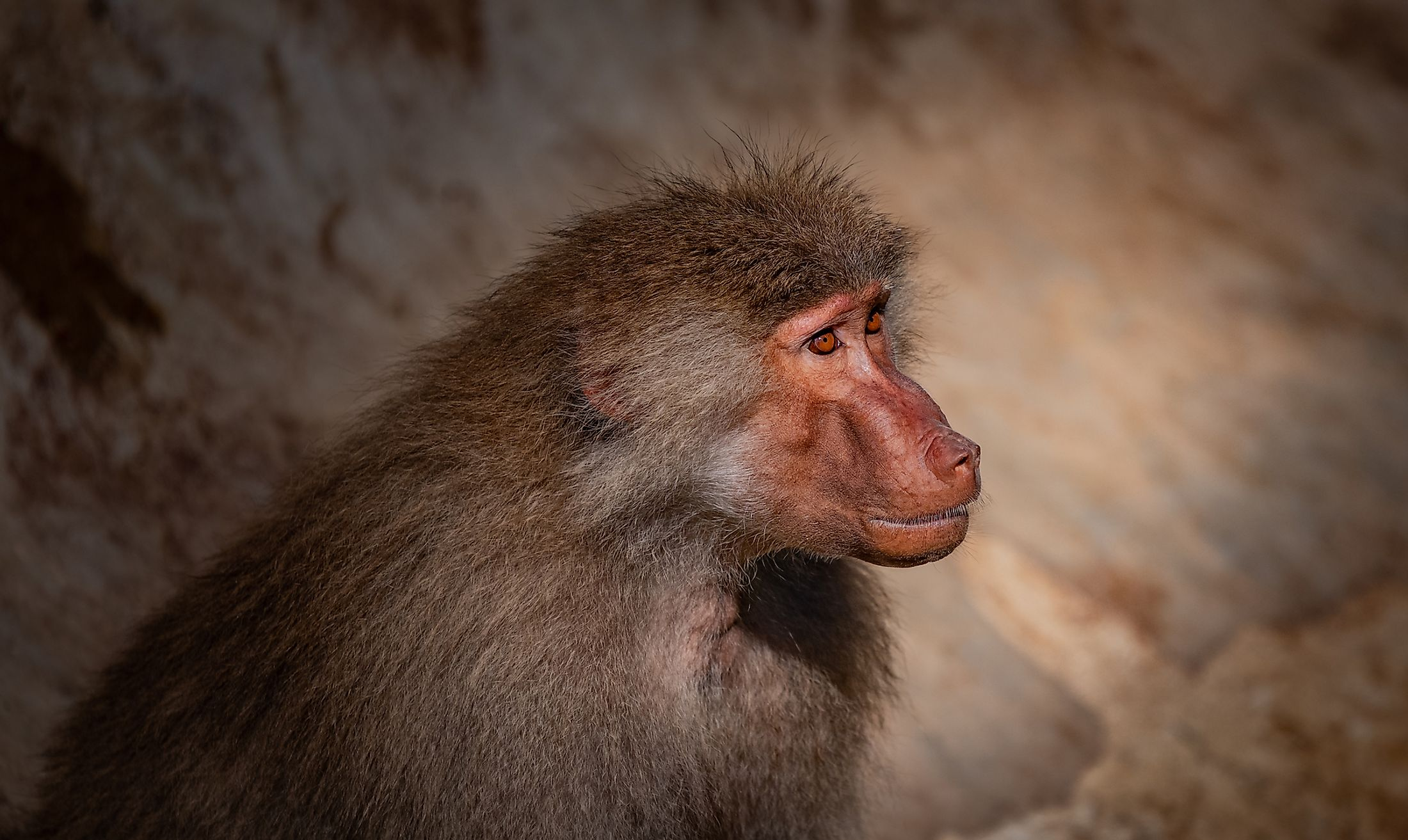 A Hamadyras baboon in the desert. Image credit: Ozer Giray Photography/Shutterstock.com