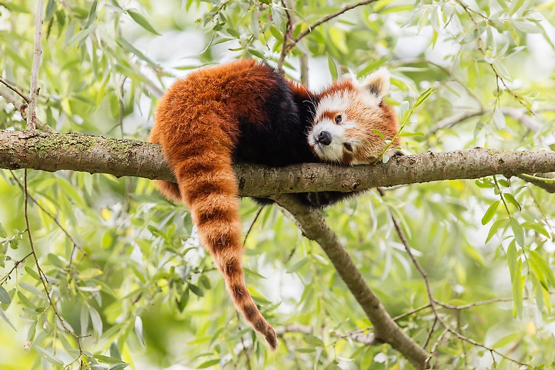 Red panda populations depend on Himalayan bamboo.