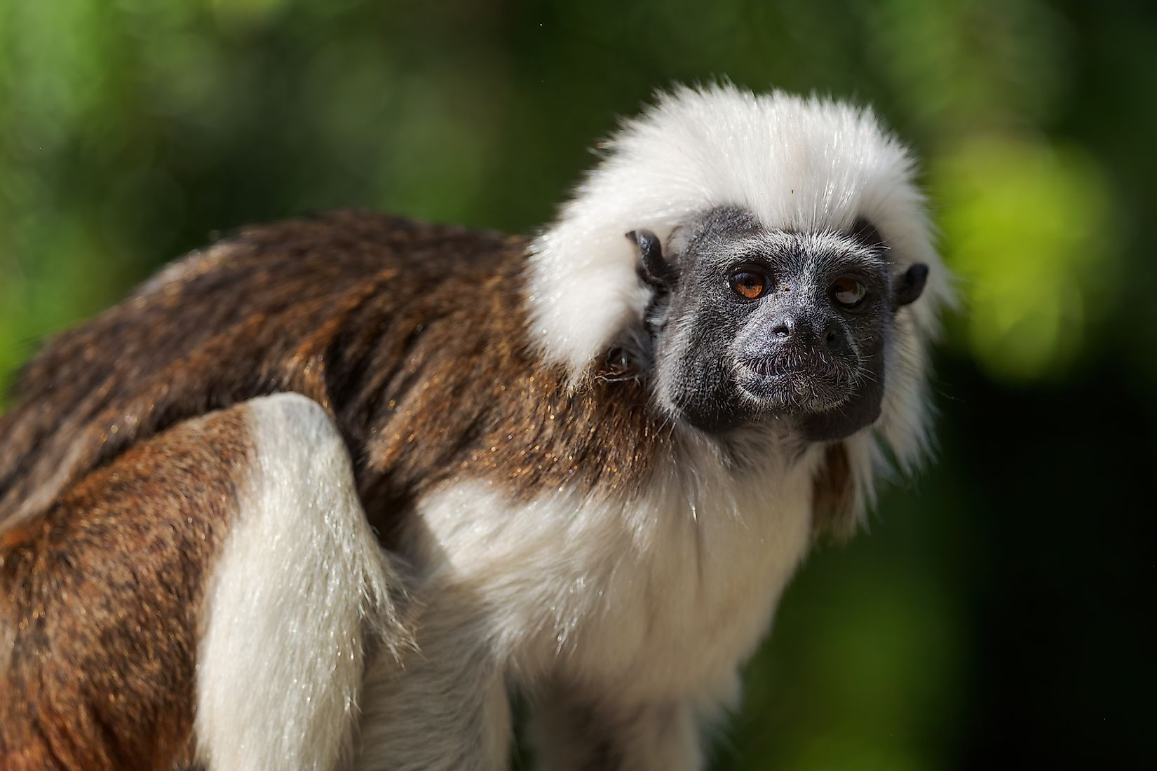 Cotton top tamarin from the forests of Colombia. Image credit: David Havel/Shutterstock.com