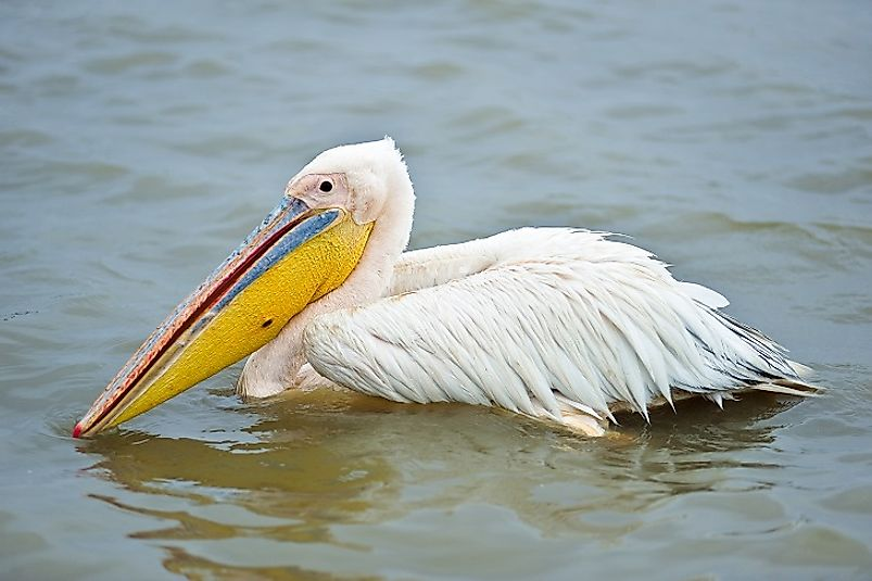 Great White Pelicans are among the many birds that take refuge in Diawling.