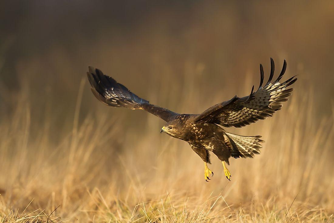 A List Of Birds Of Prey Or Raptors - WorldAtlas.com
