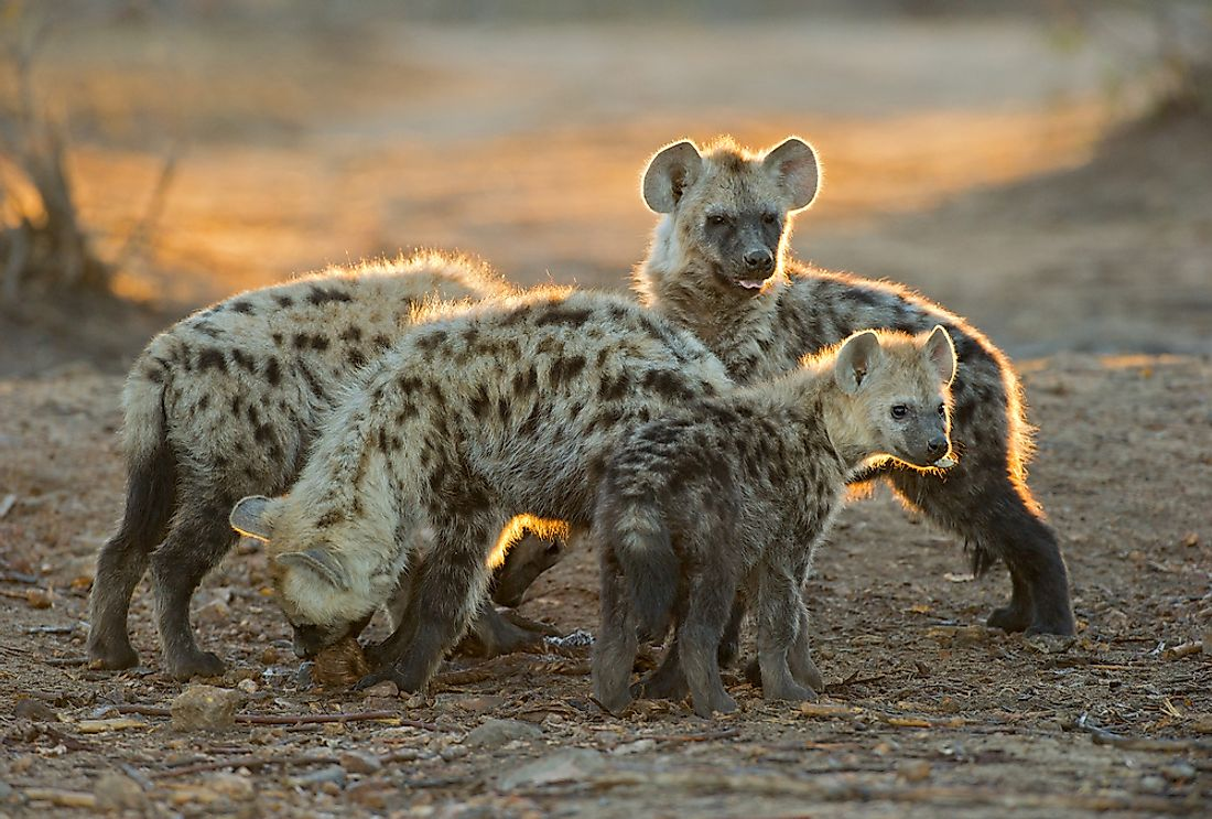 Group of Spotted Hyena youngsters