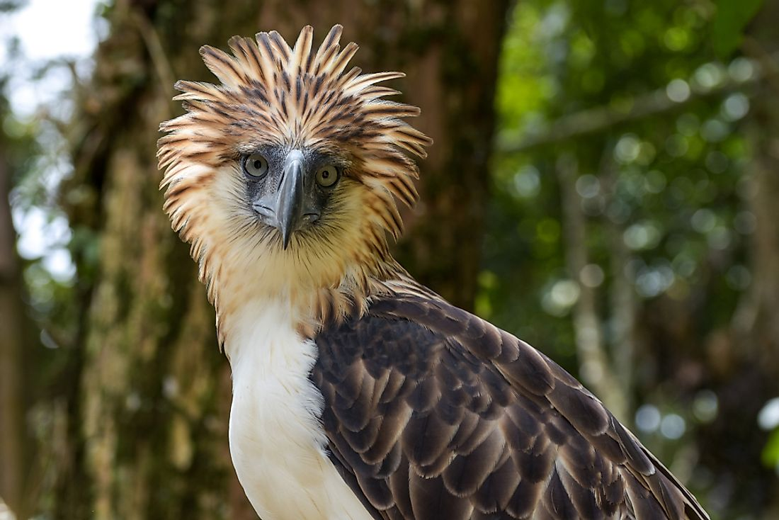 The Philippine eagle.
