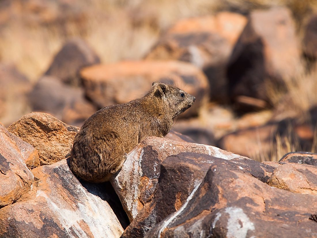 A cape hyrax in Egypt.