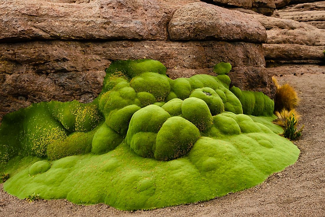 Yareta growing in the Bolivian Andes.