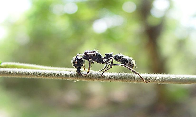 A bullet ant.