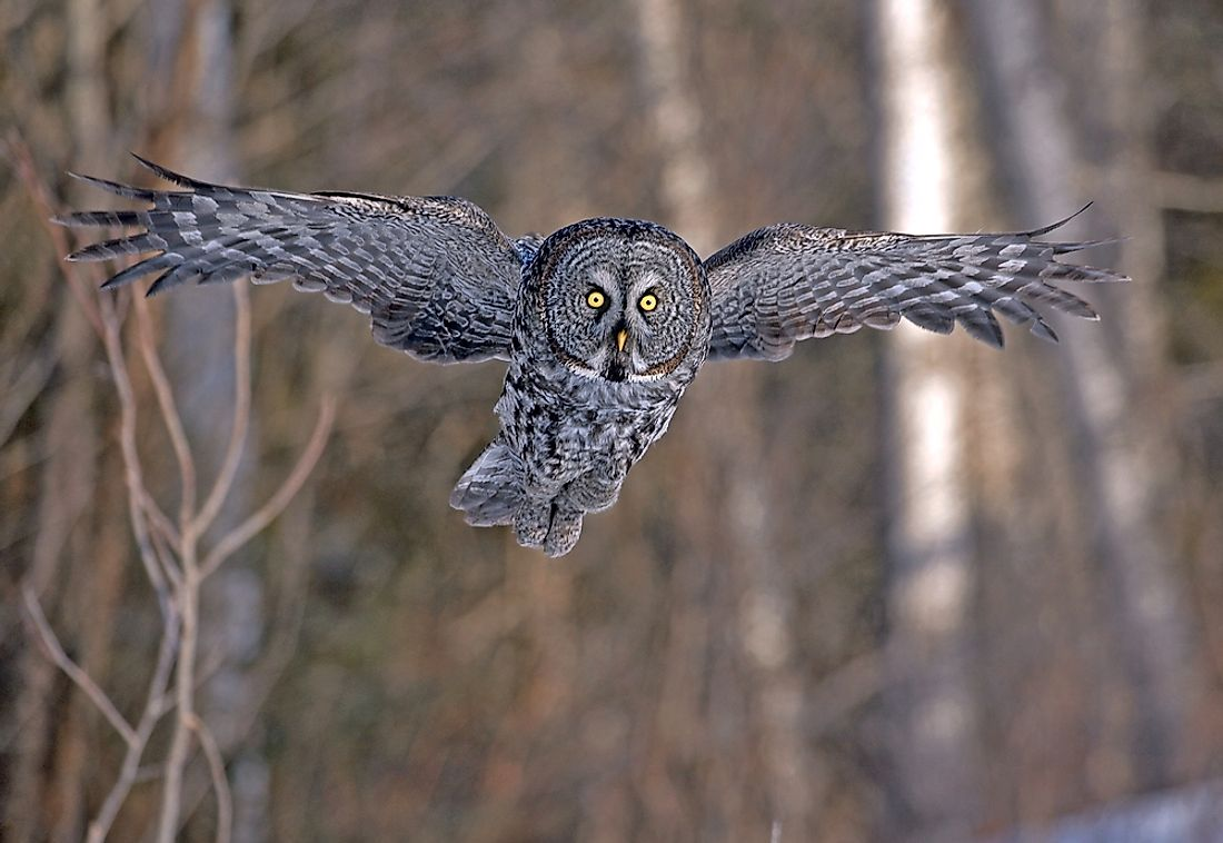 The great grey owl can have a wingspan of 5 feet.