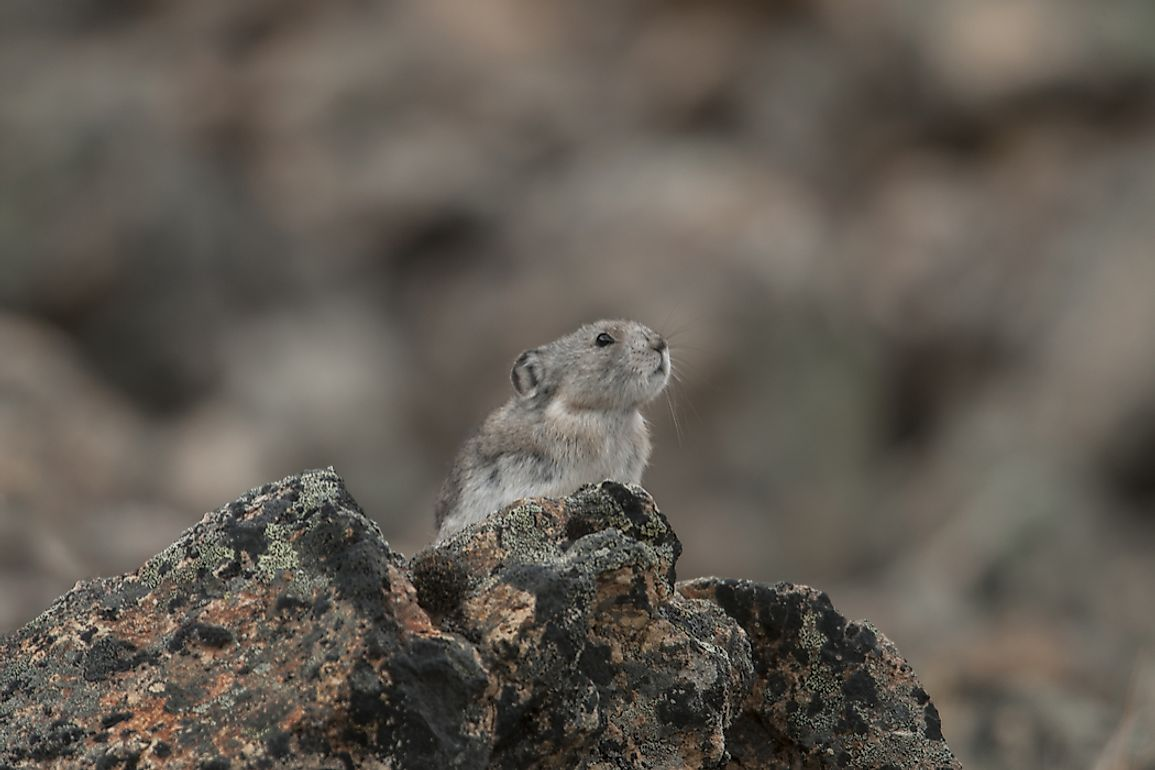 Despite their cute appearances, Collared Pikas prove to be resilient creatures, making their lives upon craggy slopes in cold climes.