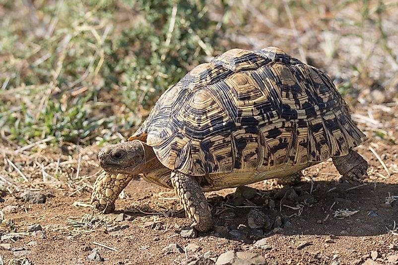 The Leopard Tortoise.